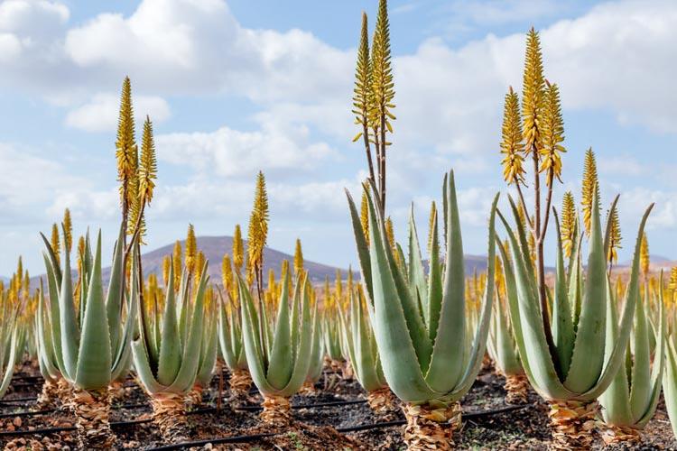Planta aloe vera, minunea naturii
