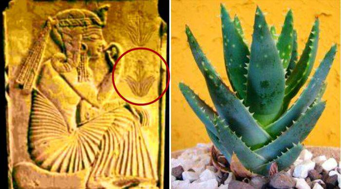 Planta de aloe vera pe o placuta veche de 3500 de ani